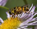 Syrphid fly -- species? - Myathropa florea