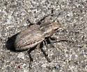 Naupuctus leucoloma, I believe. - Naupactus leucoloma