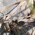 Dragonfly - Aeshna umbrosa