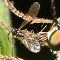 Wasp being devoured by a robber fly - Belyta