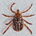 Gulf Coast Tick - Amblyomma maculatum - male