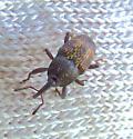 Is it a weevil? - Glyptobaris lecontei