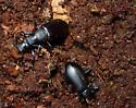 Darkling Beetle (Alobates pensylvanica) - Alobates pensylvanicus
