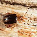flea beetle - Capraita subvittata - male