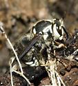 Buried queens? - Dolichovespula maculata