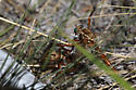 Diogmites angustipennis kills and eats another Diogmites angustipennis - Diogmites angustipennis