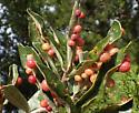 Belonocnema treatae gall wasps on Texas Live Oak, Quercus fusiformis - Belonocnema treatae