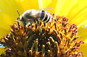 white bee - Anthophora urbana
