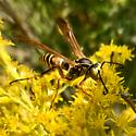 Paper Wasp? What kind? - Polistes fuscatus - male