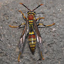 which polistes? - Polistes exclamans - female