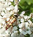 Longhorn flower beetle Lepturini - Typocerus