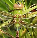 Aeshnidae-Anax junius - Common Green Darner - Anax junius - male