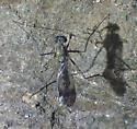 Dolichopodidae? - Liancalus