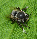 Anthophora pacifica - male