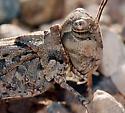 Acrididae - Trachyrhachys kiowa - male