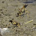 Black & yellow mud-duabers collecting mud - Sceliphron caementarium - female