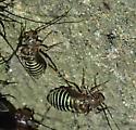 unknown - Cerastipsocus venosus