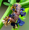 Camouflaged Looper/ Southern Emerald Moth larva- - Synchlora frondaria