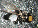 Freeloader fly with silver abdomen - Pholeomyia - male