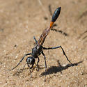 Ammophila - Ammophila procera - female