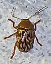 Cryptocephalus fulguratus