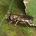 Eumerus  - Eumerus