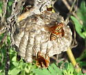 Paper/mason wasp or Dipteria mimic? - Polistes bellicosus