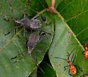 Leaf-footed Bug - Acanthocephala terminalis (?) - Leptoglossus