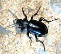 Which Calosoma? - Calosoma peregrinator - male
