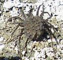 Spider with babies - Pardosa