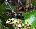 Mydas Fly - Mydas maculiventris