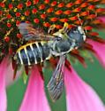 Megachile species?  - Megachile