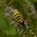 Wasp in Owens Valley - Crioscolia alcione - male