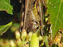 Red-legged Grasshopper - Melanoplus femurrubrum