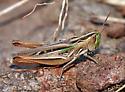 Velvet-striped Grasshopper - Eritettix simplex - female