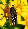 Beetle - Acmaeodera haemorrhoa