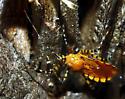 Some type of assassin bug? - Pselliopus barberi