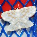Fragile White Carpet  - Hydrelia albifera - male - female