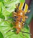 Three-lined Lima Beetle - Lema trivittata - male - female