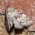 Moth 09.07.18 (2) - Elophila obliteralis