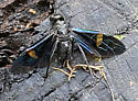Dead Wasp with Blue and Gold Translucent Metallic Wings - Pristaulacus fasciatus