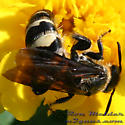 Scoliid Wasps - Campsomeris plumipes - female