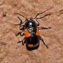 Beetle 2011.04.28.2089 - Cryptocephalus quadruplex