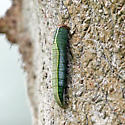 caterpillar - Heterocampa astarte