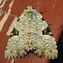 green leuconycta - Leuconycta diphteroides