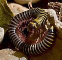Eurhinocricus? - Eurhinocricus