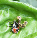 Nymph eats a strange worm - Podisus placidus