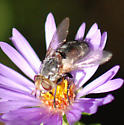 Tachinid (?) fly on aromatic aster - Archytas marmoratus