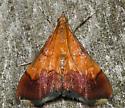 bicolored pyrausta - Pyrausta bicoloralis