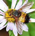 Bumbleebee Mimic Fly - Xanthoepalpus bicolor